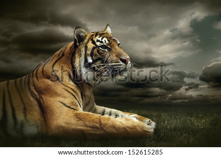 Tiger looking and sitting under dramatic sky with clouds - stock photo