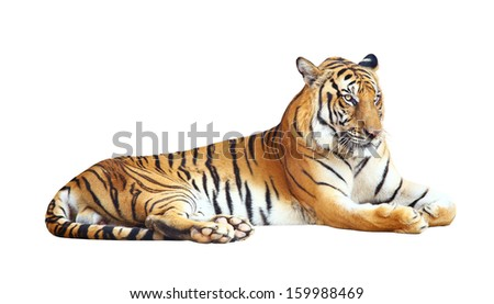 Tiger looking camera with clipping path on white background  - stock photo