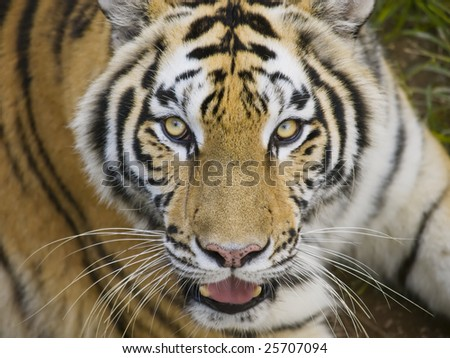 Tiger Looking Directly at You - stock photo