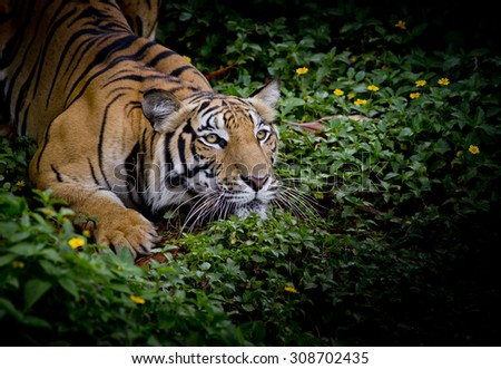 Tiger looking his prey and ready to catch it. - stock photo