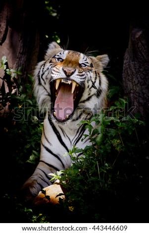 Tiger looking his prey and ready to catch it - stock photo
