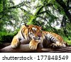 Tiger looking something on the rock in tropical evergreen forest	 - stock photo