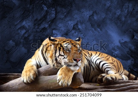Tiger looking something with stone wall background - stock photo