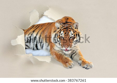 Tiger looking through a hole torn sheet of the paper - stock photo