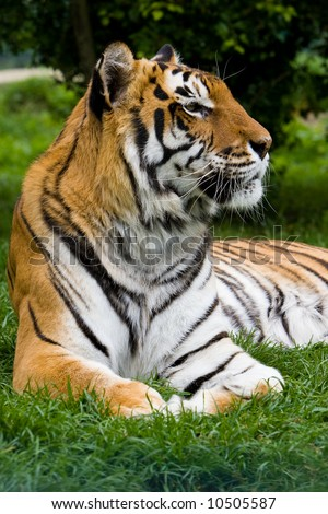 Tiger lounging - stock photo