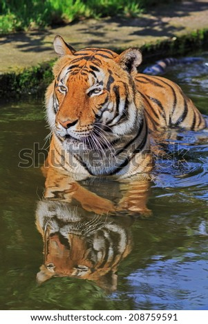 tiger lying in the water - stock photo