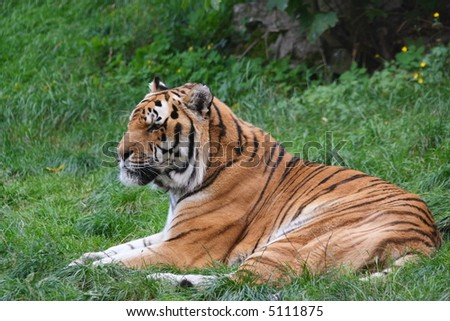 tiger lying on a grass - stock photo