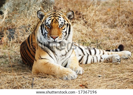 Tiger lying on the ground with hay, staring with you - stock photo