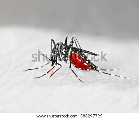 Tiger mosquito (Aedes albopictus) full of blood, an alien species that can spread exotic diseases in Europe - stock photo