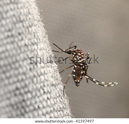 Tiger mosquito, Aedes albopictus, with blood inside the abdomen. - stock photo