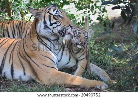 Tiger mother and cub - stock photo