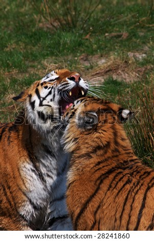 Tiger mother together with one of her cubs - stock photo