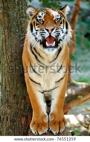 Tiger on a tree - stock photo