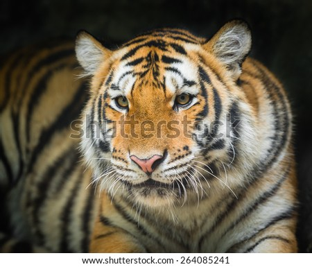 tiger on black background - stock photo