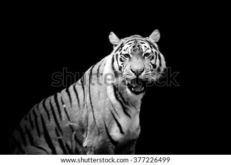 Tiger on dark background. Black and white image - stock photo