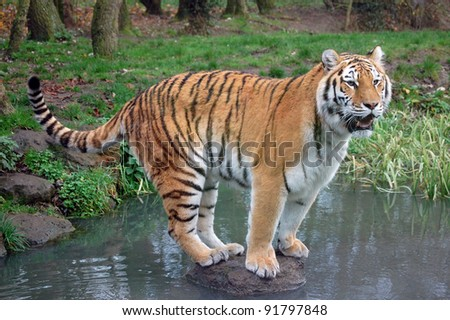 Tiger on stepping stone - stock photo