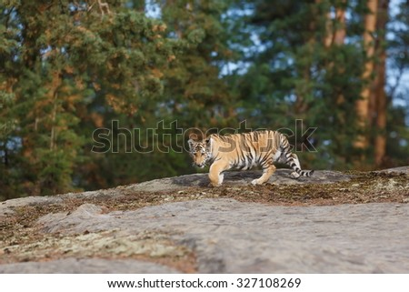 tiger on the rock - stock photo
