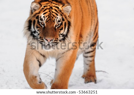 Tiger on the white background - stock photo