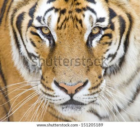 Tiger, Panthera tigris. - stock photo