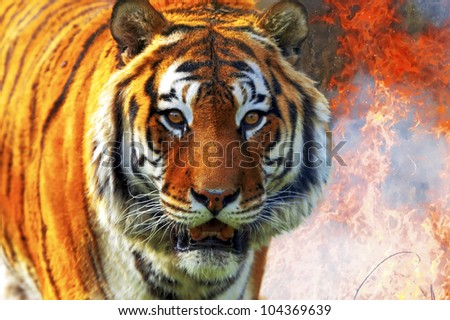 Tiger Panthera tigris altaica - stock photo