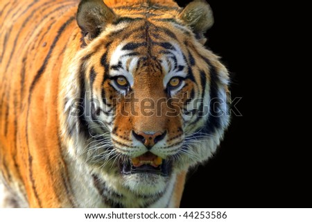 Tiger Panthera tigris altaica (isolated) - stock photo