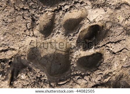 Tiger paw print - stock photo