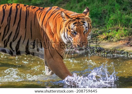 tiger plying in the water - stock photo