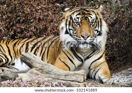 Tiger portrait. - stock photo