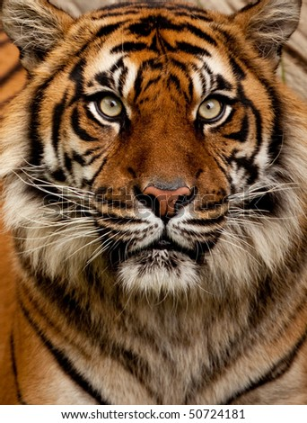 Tiger portrait - stock photo