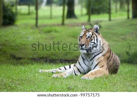 Tiger portrait. - stock photo