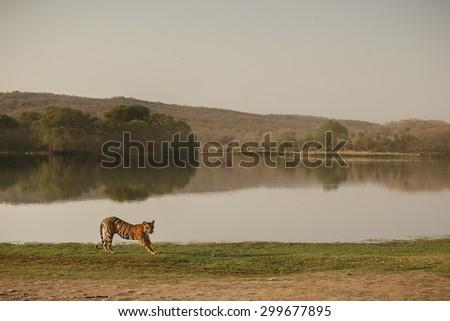 Tiger pose - stock photo