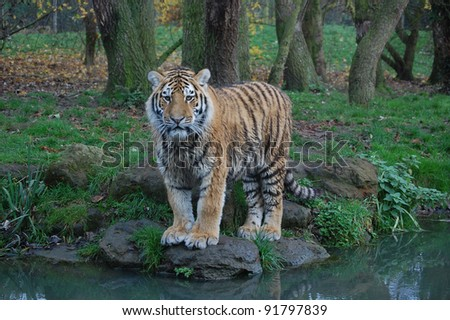 Tiger profile after playing in water - stock photo
