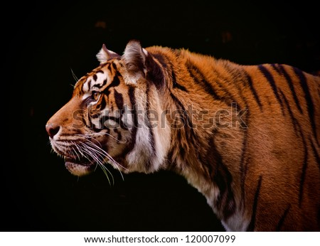 Tiger profile isolated on a black background - stock photo