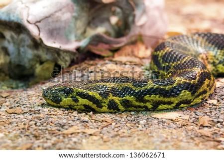 Tiger python close-up - stock photo