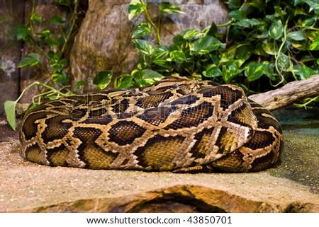 Tiger Python (python molurus bivittatus) - stock photo