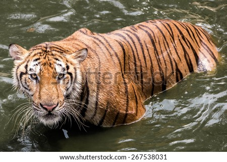 tiger relax - stock photo