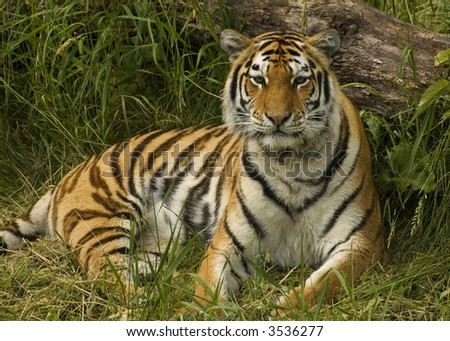 Tiger Relaxed Next to a Log - stock photo