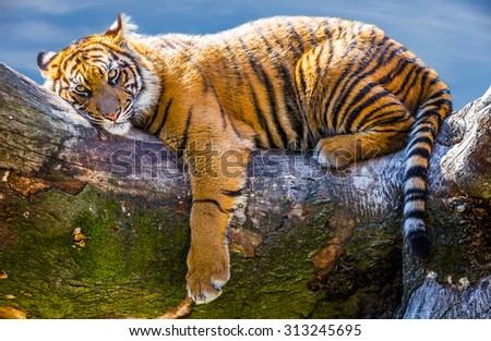 Tiger relaxing on large branch looking at the viewer - stock photo