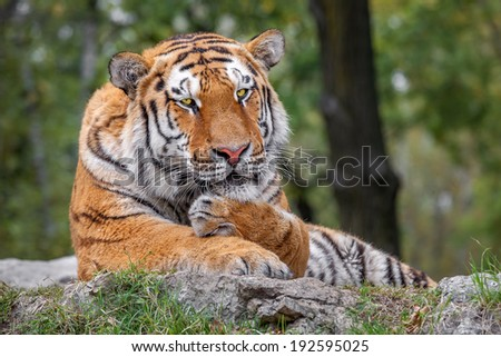 Tiger rest on the ground lying the head on his paws.