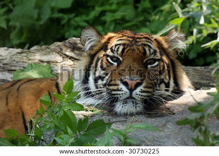 Tiger resting his head on a rock. - stock photo