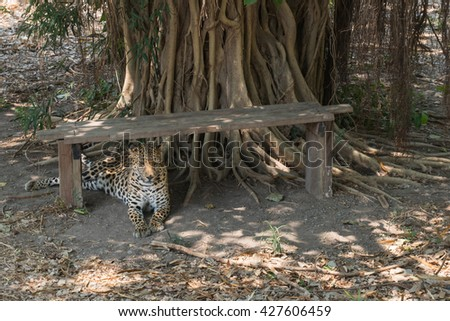 tiger  resting in a zoological garden - stock photo