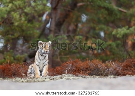 tiger resting on the edge of the forest - stock photo