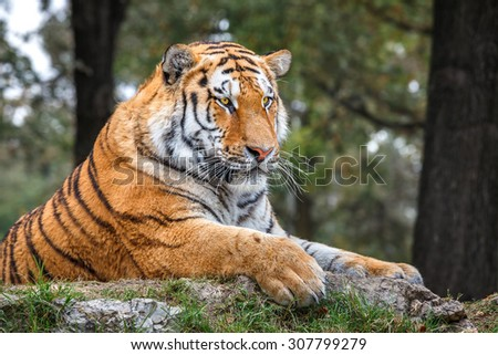 Tiger rests on the ground in Safari Park. - stock photo