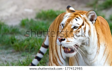 Tiger roaming looking ahead - stock photo