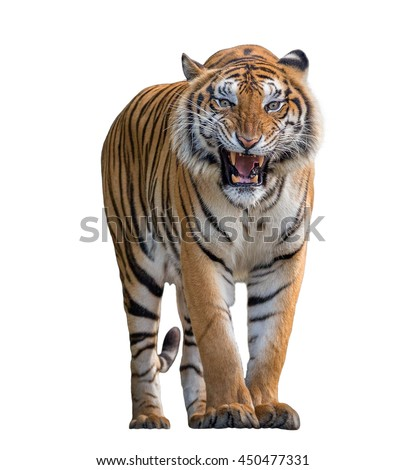 Tiger Roaring isolated on white background.