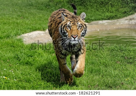 Tiger running - young wet male tiger running towards camera with water droplets  captured in sharp detail - stock photo