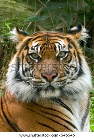 Tiger's Eyes. National Zoo in Washington. - stock photo