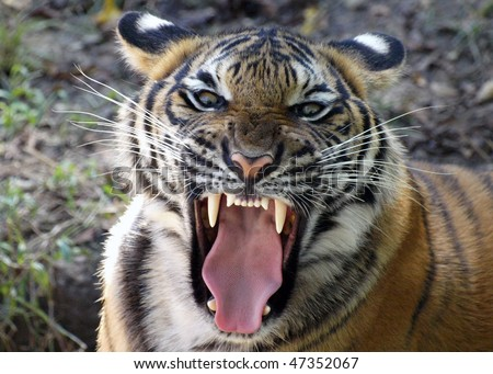 Tiger's Mighty Roar - stock photo