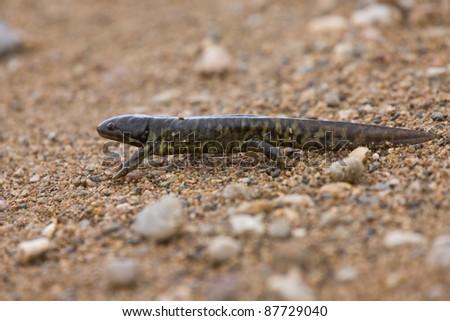 Tiger Salamander newt Saskatchewan Canada slimy skin - stock photo