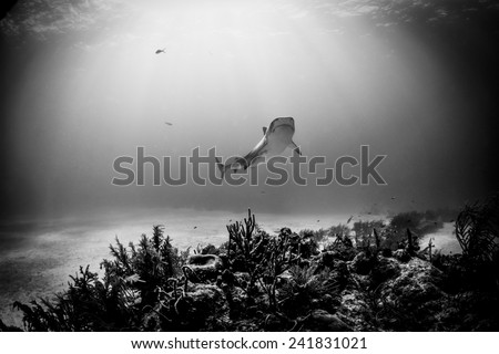 Tiger Shark - stock photo